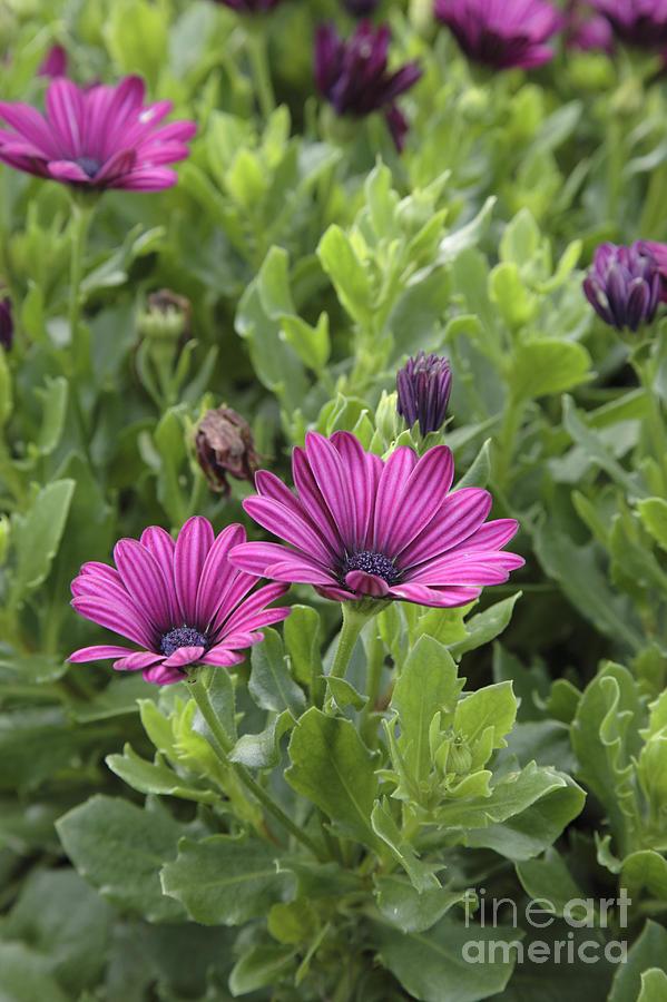 New England Photograph - Osteospermum Flowers by Erin Paul Donovan
