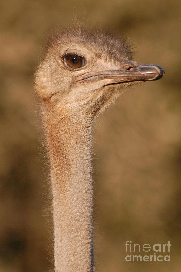 Ostrich Photograph - Ostrich Head by Andy Smy