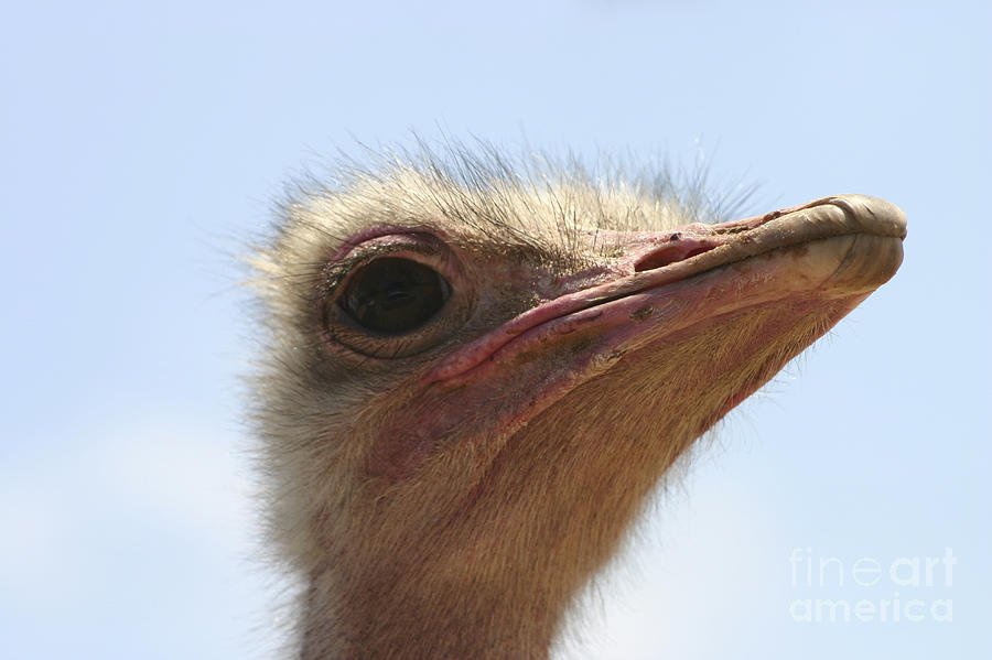 Ostrich Photograph - Ostrich Head Close Up by Danny Yanai