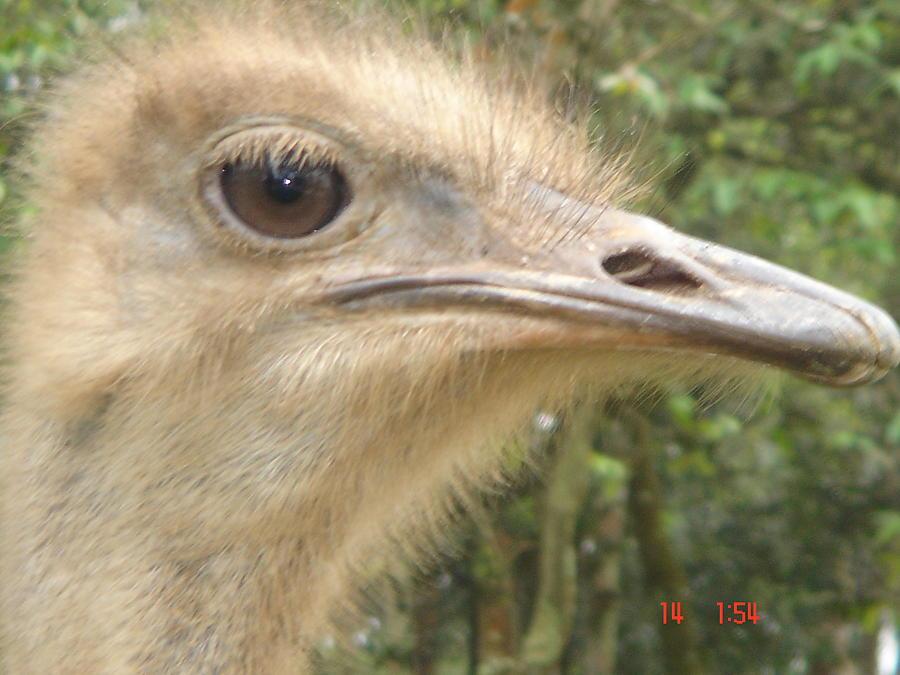 Ostrich Photograph - Ostrich by Paulo Zerbato