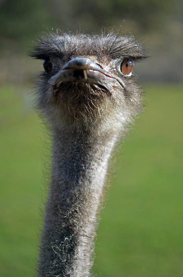 Birds Photograph - Ostrich What A Face by Laura Mountainspring