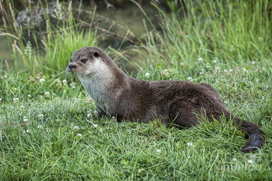 Otter Photograph - Otter By The Water by Philip Pound