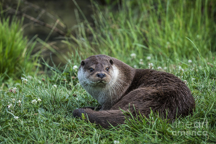 Otter Photograph - Otter On The Grass by Philip Pound