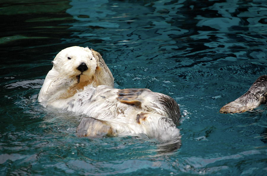 Water Photograph - Otter by Samantha Kimble