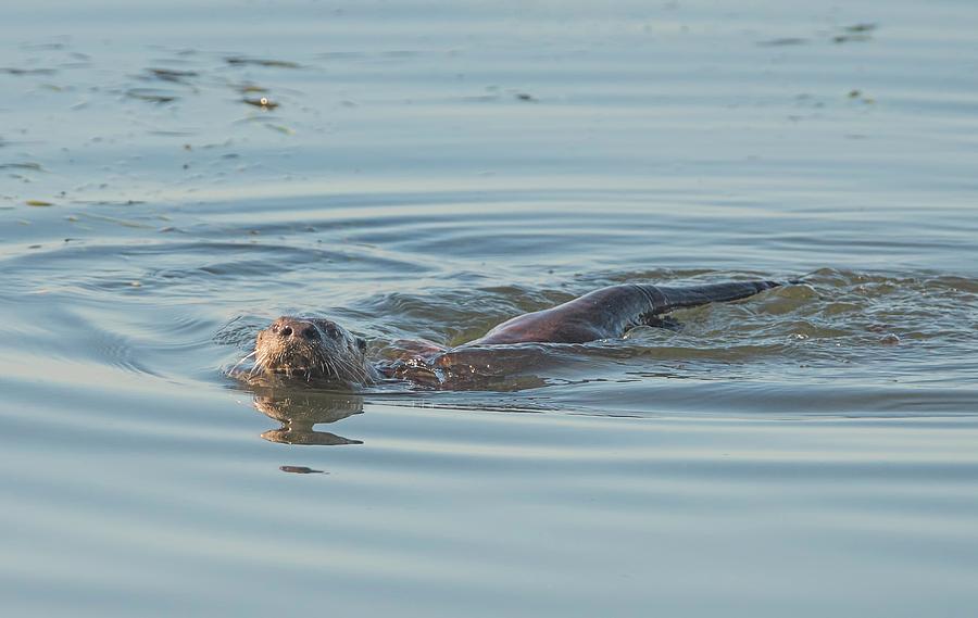 Otter Swimming Photograph - Otter Swimming by Loree Johnson