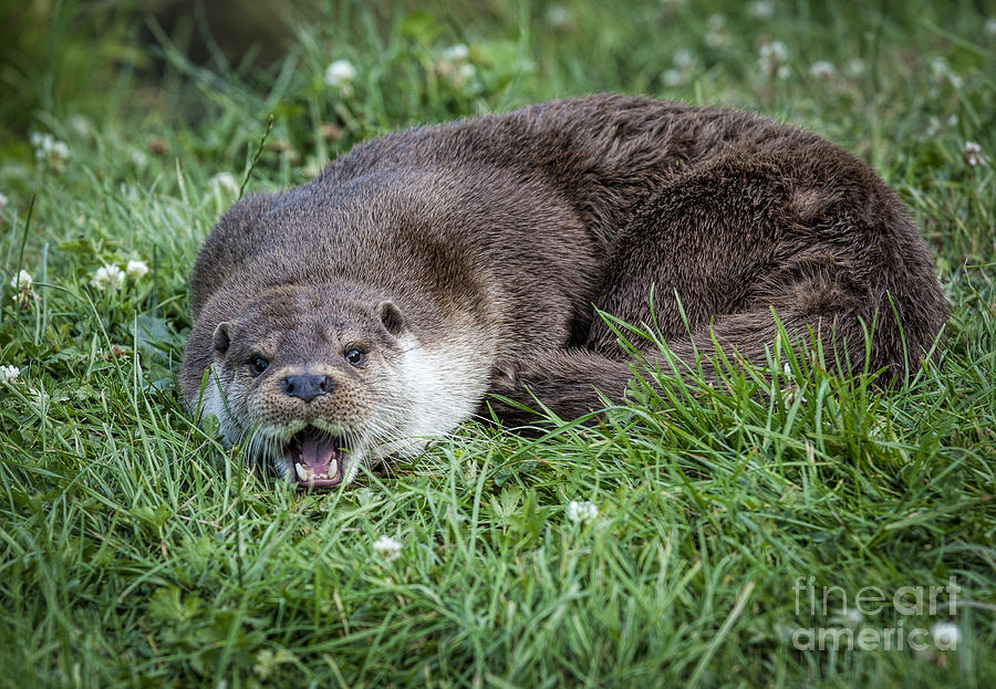 Otter Photograph - Otter With Mouth Open by Philip Pound