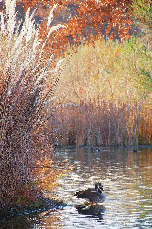 Sanctuary Photograph - Sanctuary, Canadian Geese by Zayne Diamond Photographic