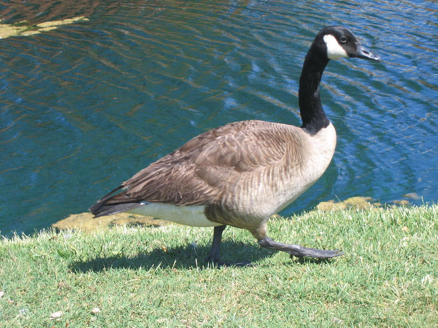 Geese Photograph - Out For A Walk by Marlene Robbins