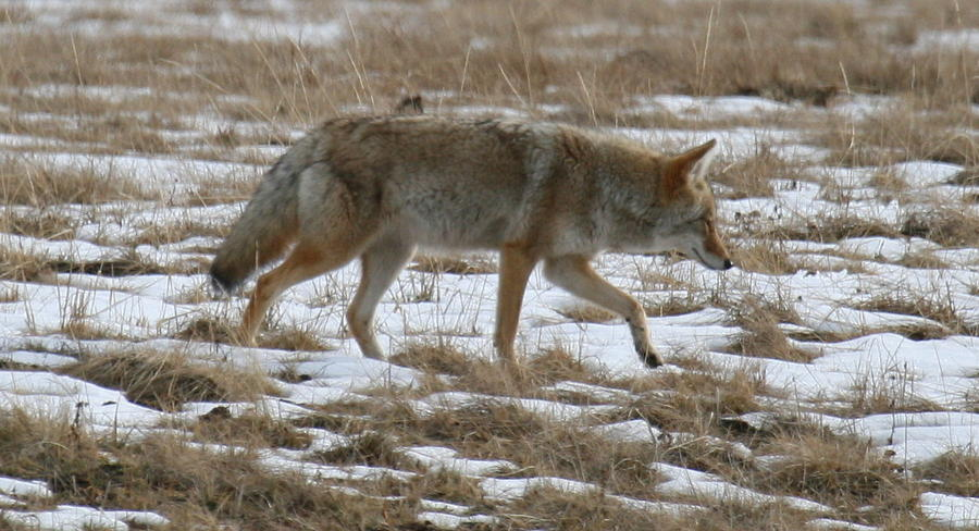 Coyote Photograph - Out Looking For Dinner by Robert Torkomian