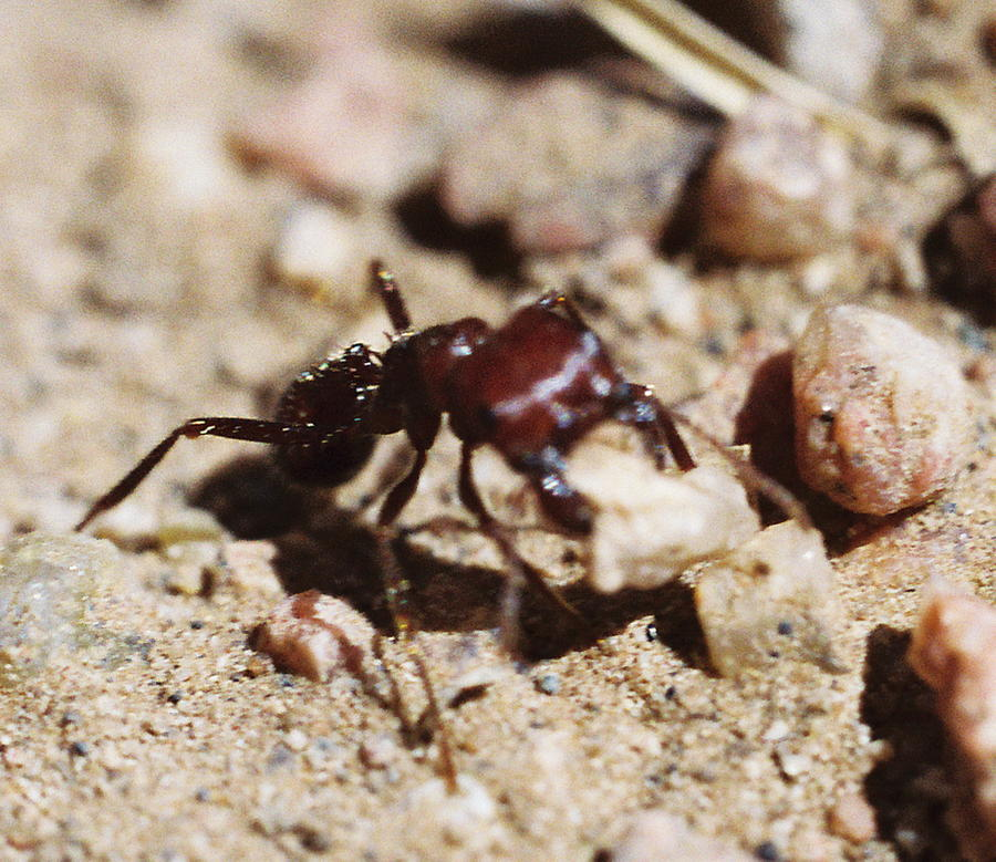 Ant Photograph - Out Of My Way by Mike Burton