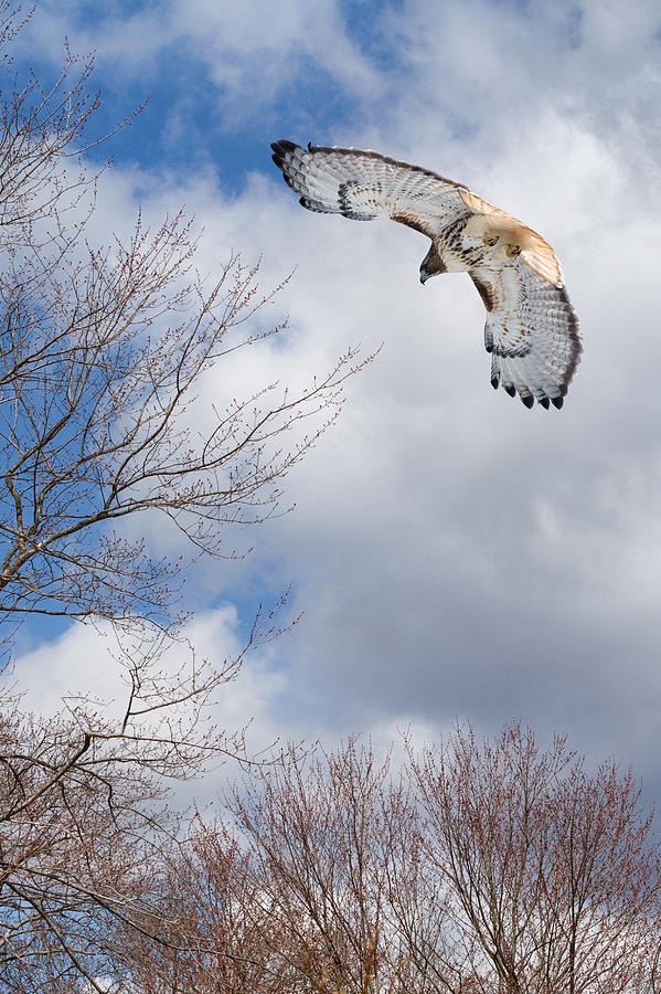 Redtail Hawk Photograph - Out Of The Blue by Bill Wakeley