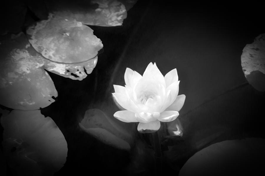 Yellow Water Lily Photograph - Out Of The Depths Bw by Bonnie Follett