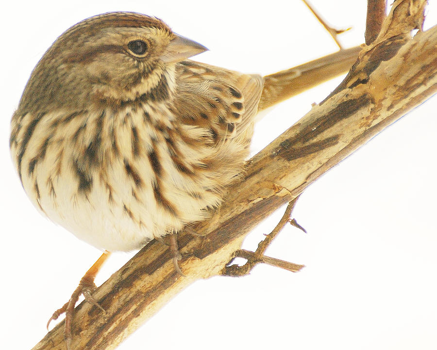 Sparrow Photograph - Out On A Limb by Richard Oliver
