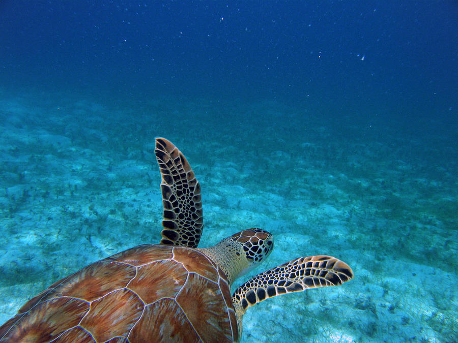 Green Sea Turtle Photograph - Out To Sea by Kimberly Mohlenhoff