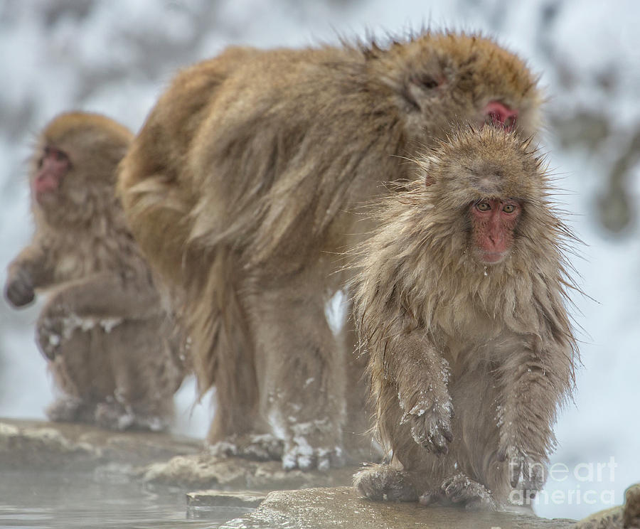 Snow Monkeys Photograph - Out We Come by Leigh Lofgren