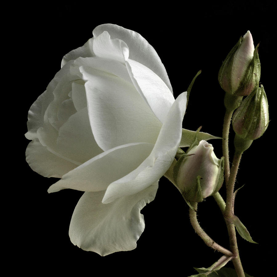 Rose Photograph - Out With My Buddies by Terence Davis