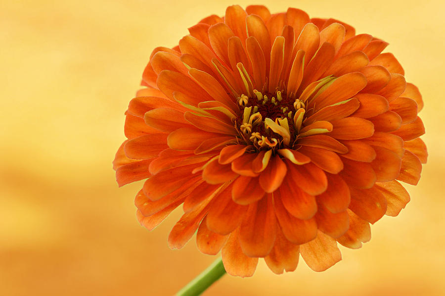 Flower Photograph - Outrageous Orange by Sandy Keeton