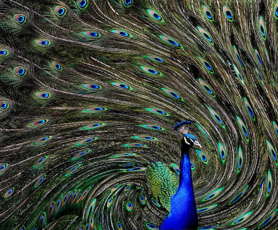 Outrageous Peacock by Joe Bonita