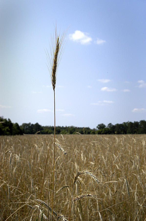 Oat Photograph - Outstanding In Its Field. by Robert Ponzoni