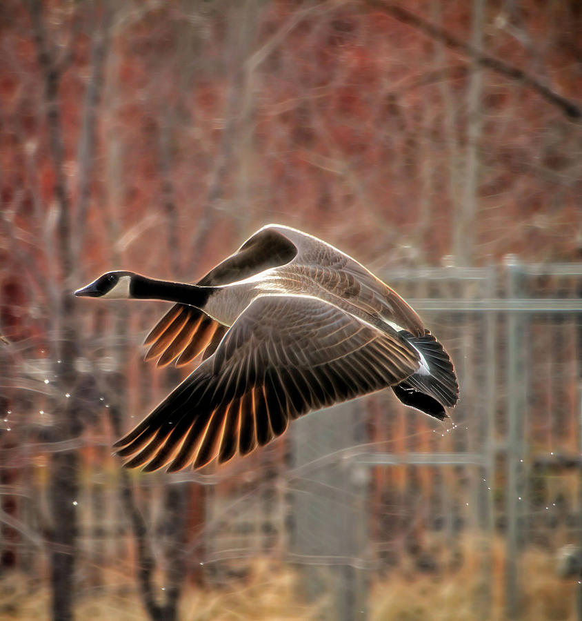 Canada Goose Photograph - Outta Here  by Donna Kennedy