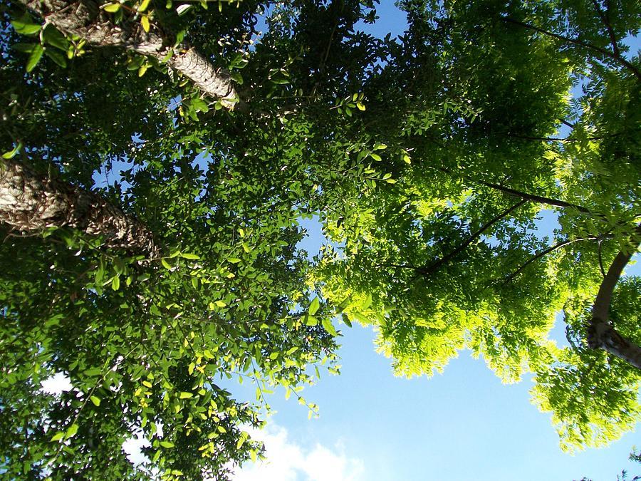 Trees Photograph - Over Me by Laurette Escobar