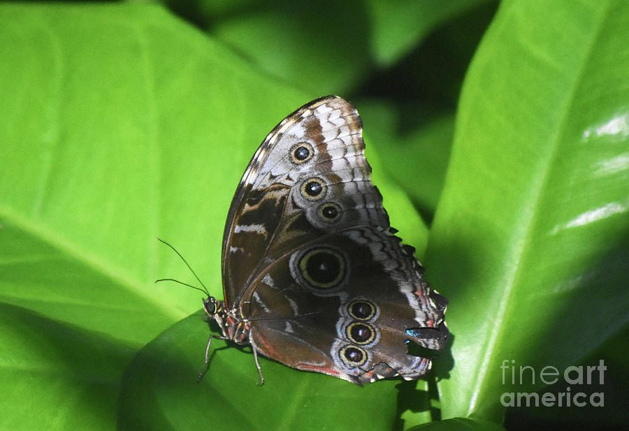 Blue Morpho Photograph - Owl Butterfly On A Cluster Of Green Leaves by DejaVu Designs