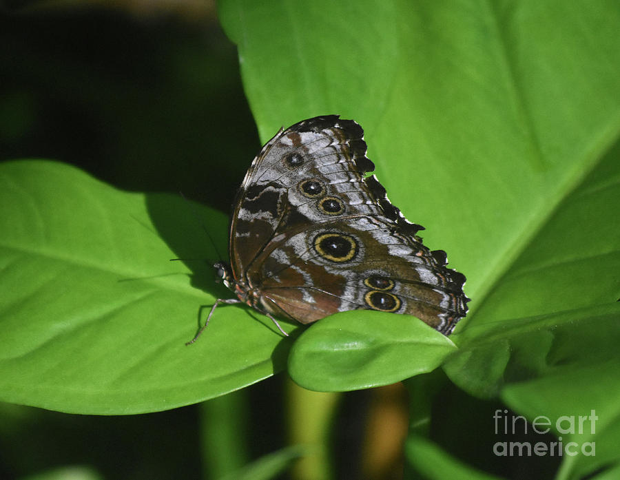 Blue Morpho Photograph - Owl Butterfly With Fantastic Distinctive Eyespots  by DejaVu Designs
