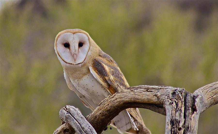 Owl I by Jon Reddin