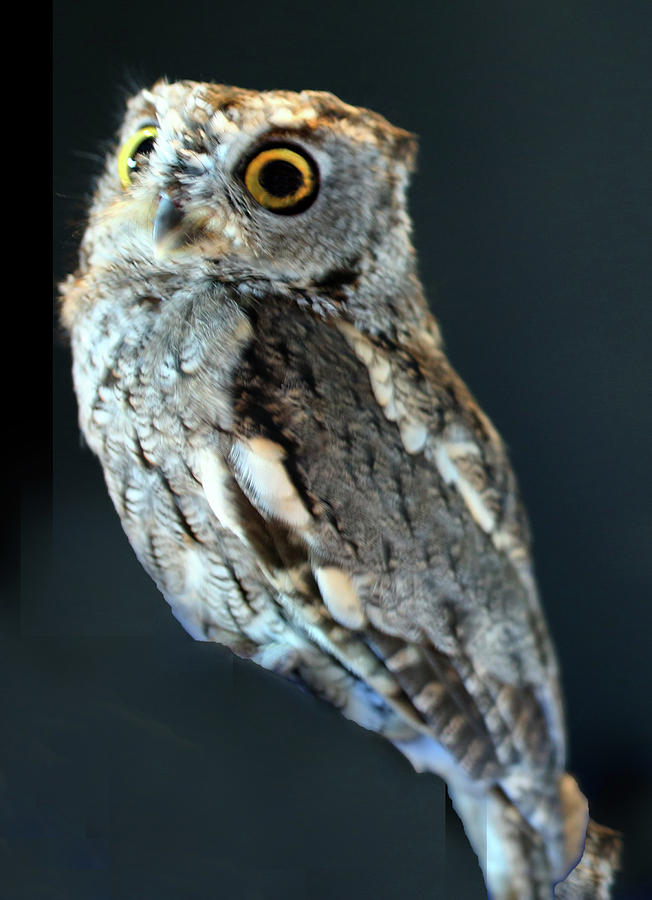 Owl Photograph - Owl On Black by Michael Riley