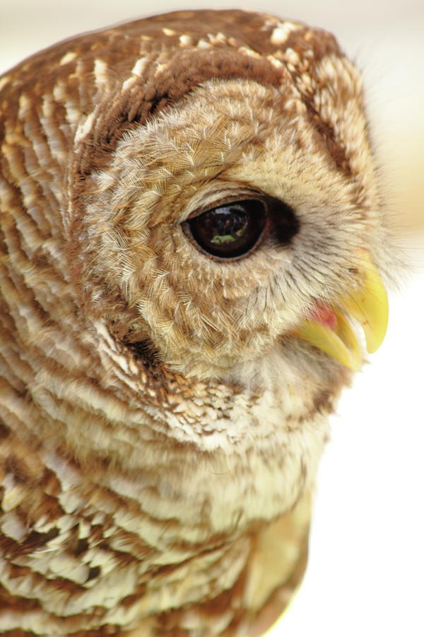 Owl Photograph - Owl Profile by Jamie Smith