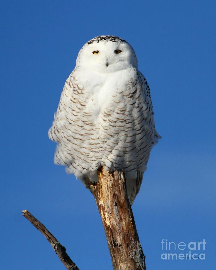 Owl Totem Photograph By Heather King