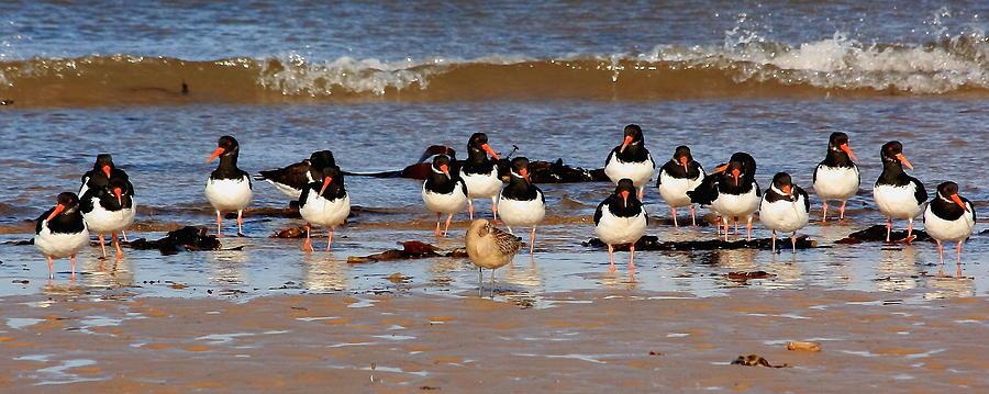 Birds Photograph - Oystercatchers by Jeff Townsend