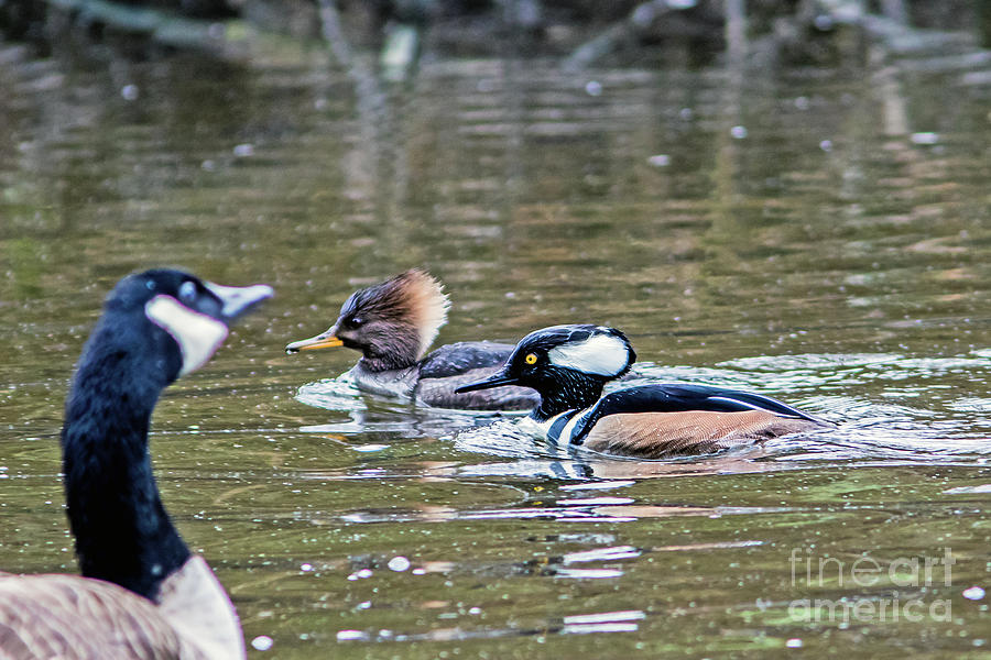 Merganser Photograph - Pa And Ma Hooded Mergansers by Marland Howard