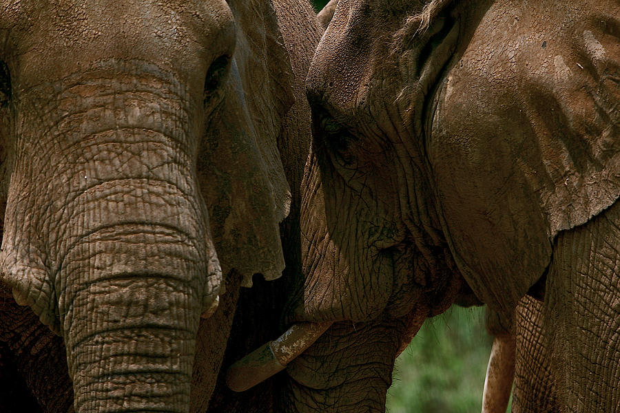 Pachyderm Love by Lawrence Boothby