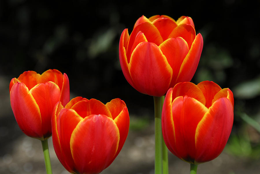 Tulips Photograph - Pacific Northwest Tulips 5 by Keith Gondron