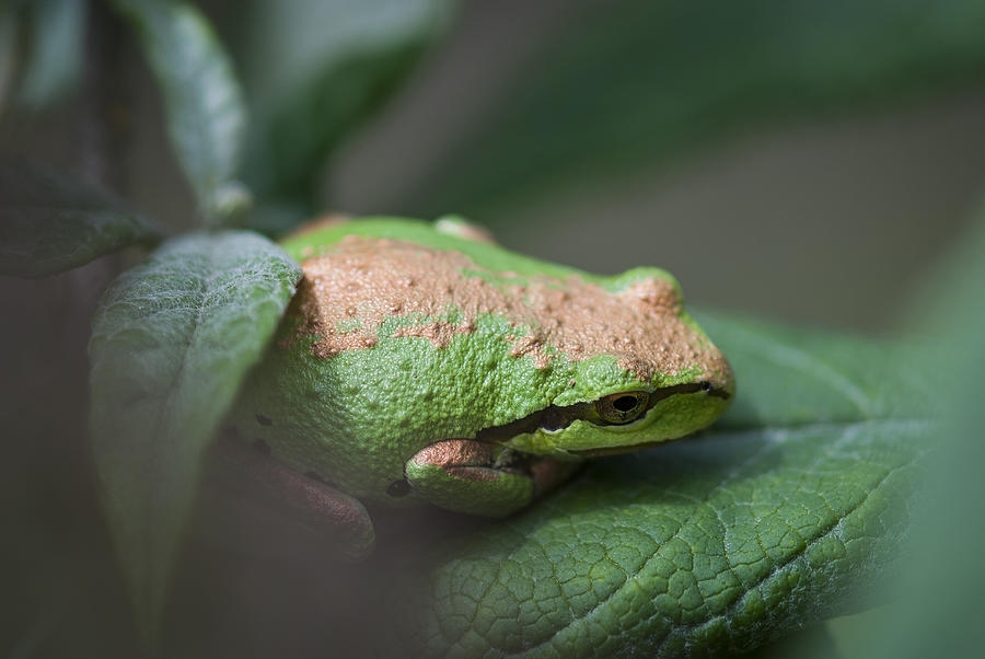Frog Photograph - Pacific Treefrog Siesta by Robert Potts
