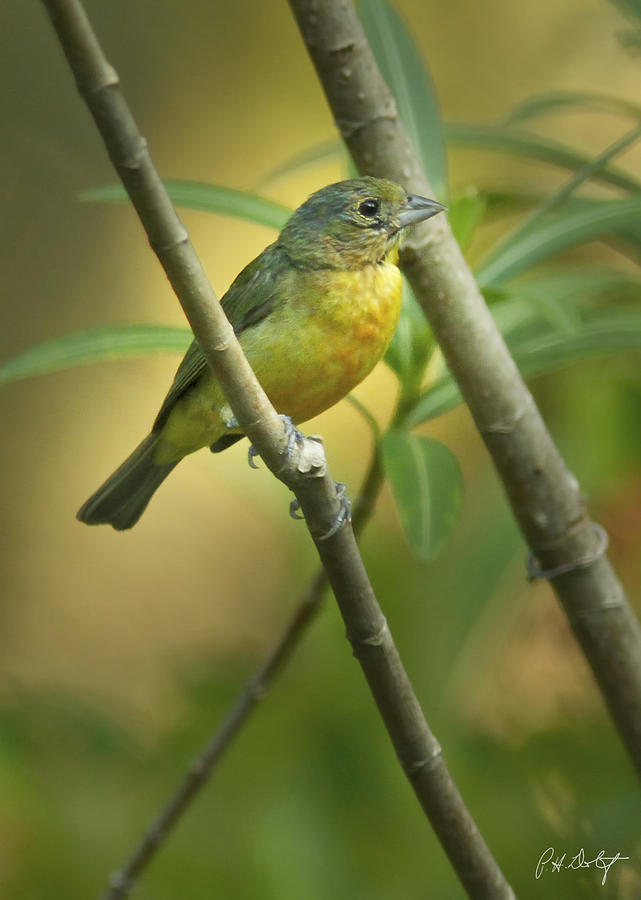 Bird Photograph - Painted Bunting Female by Phill Doherty