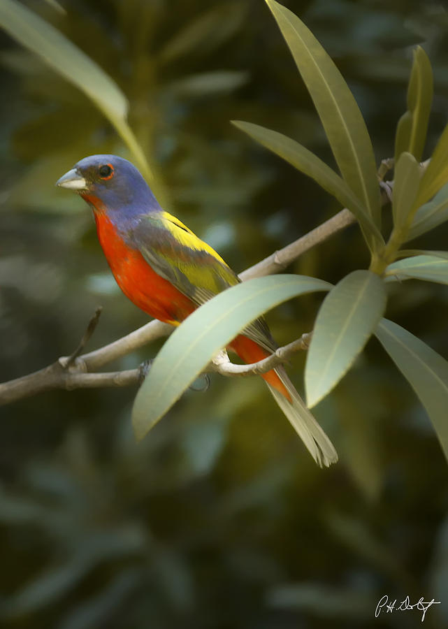 Painted Bunting Photograph - Painted Bunting Male by Phill Doherty