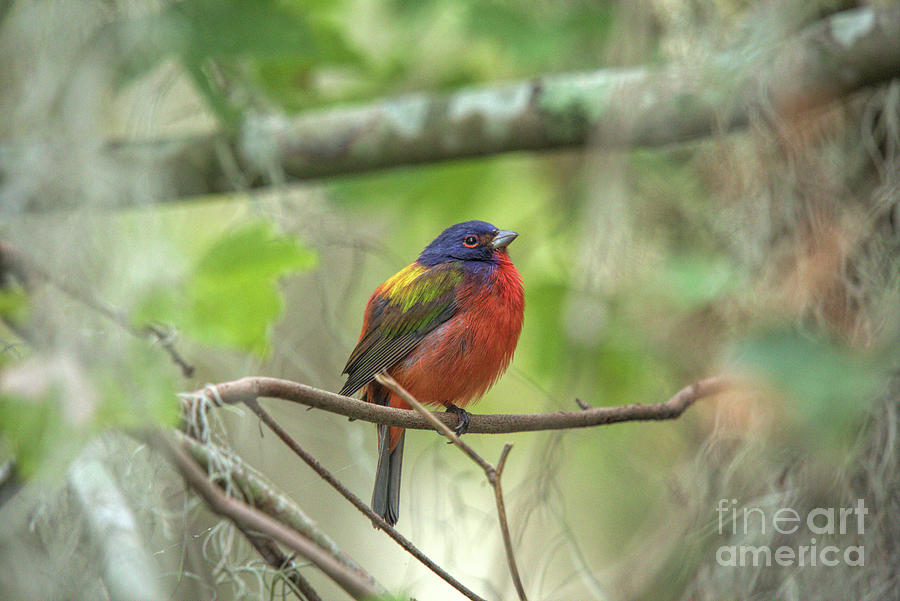 Wildlife_painted Bunting Photograph
