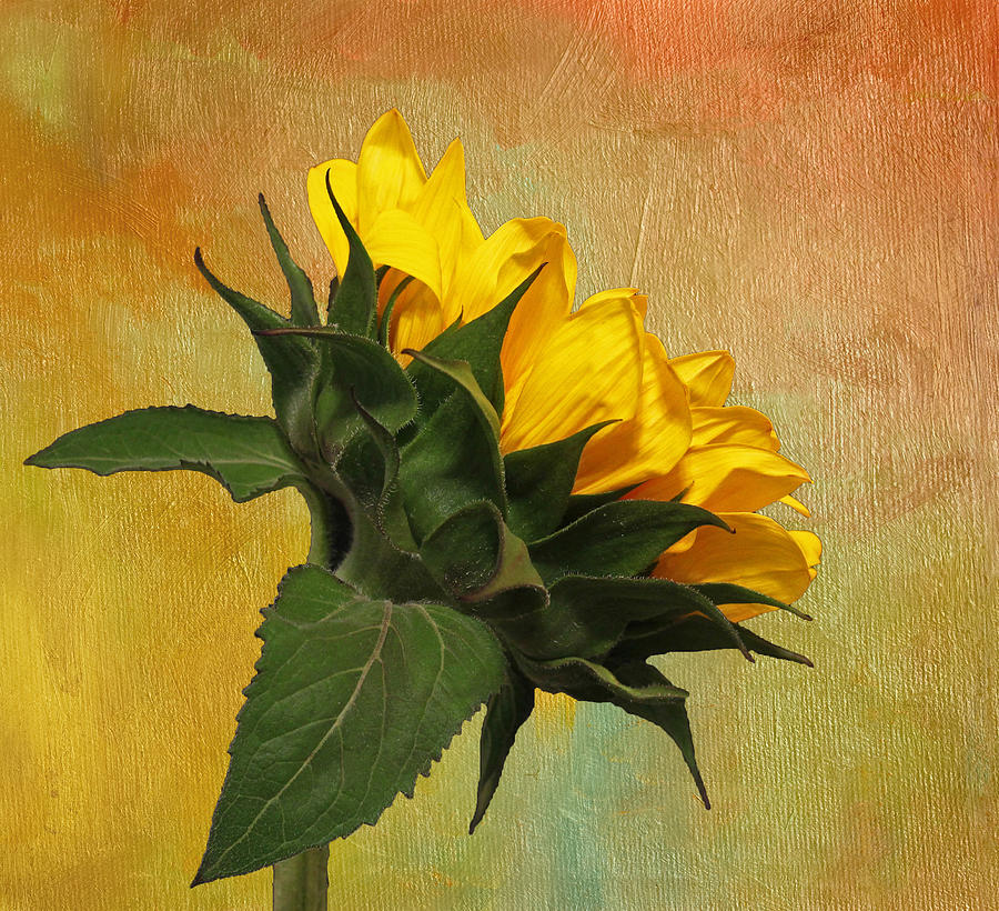 Sunflower Photograph - Painted Golden Beauty by Judy Vincent