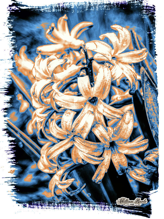 Painted Hyacinth by William Havle