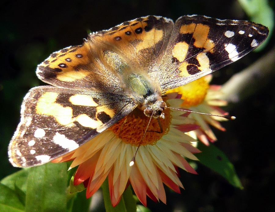 Australian Painted Lady Photograph - Painted Lady - Pit Stop 1 by Esther Brueggemeier