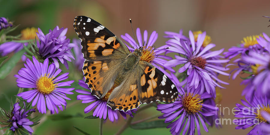 Painted Lady Butterfly and Aster Flowers 6x3 by Robert E Alter Reflections of Infinity