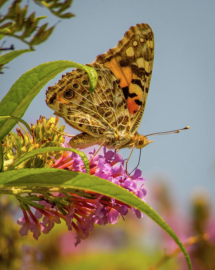 Painted Lady Butterfly by Janis Knight