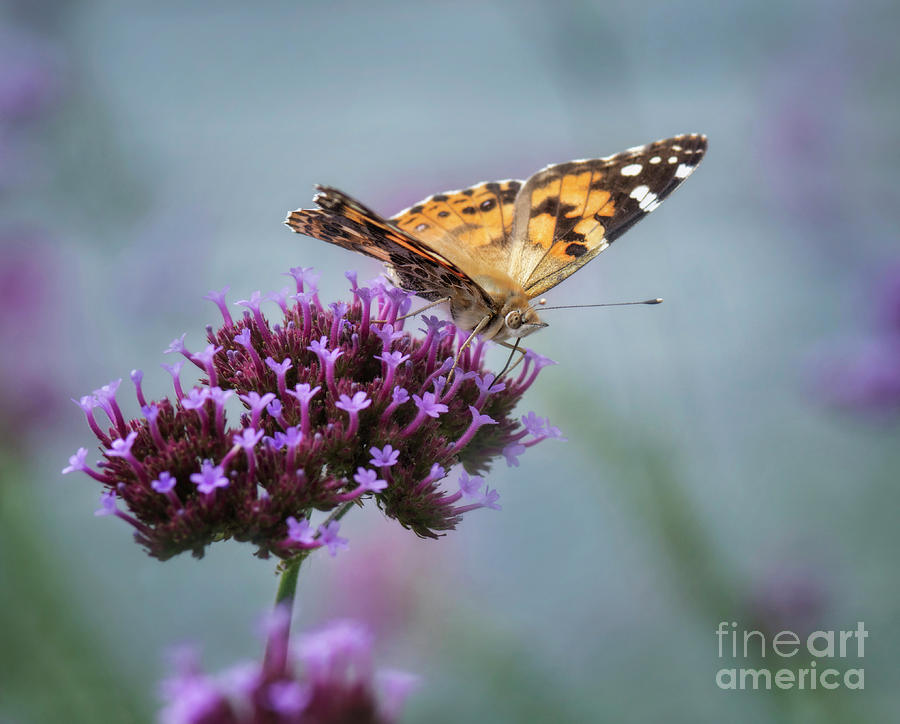 Butterfly Photograph - Painted Lady by Claudia Kuhn