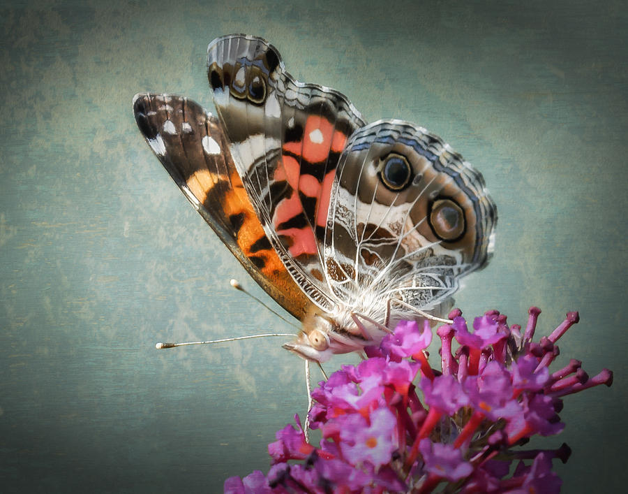 Painted Lady Photograph - Painted Lady by James Barber