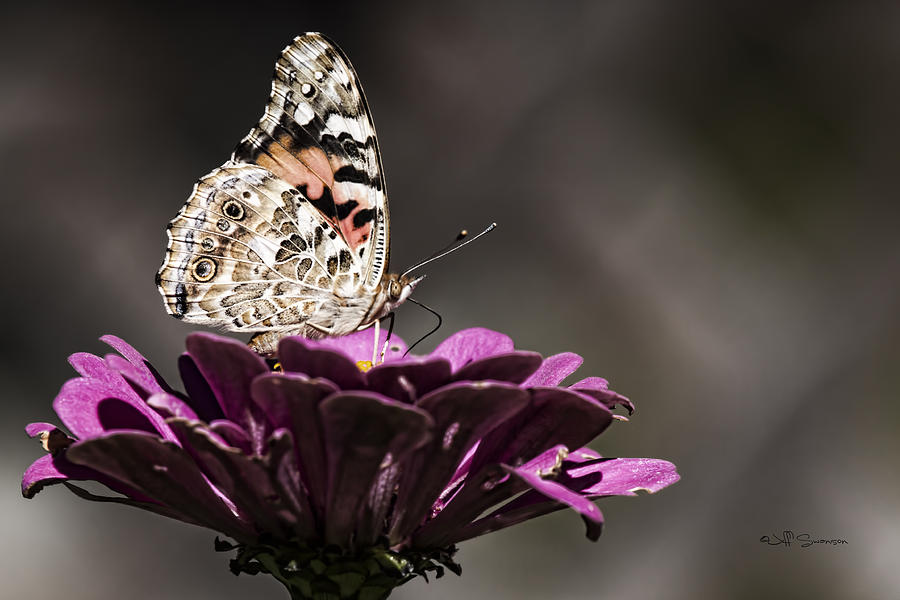 Painted Lady Photograph - Painted Lady by Jeff Swanson