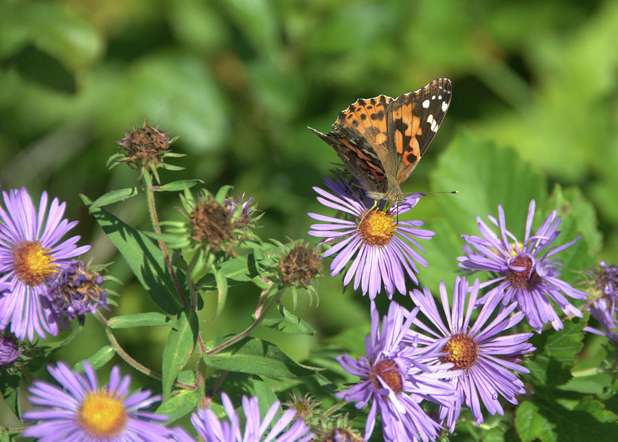 Painted Lady on Aster by Valerie Kirkwood