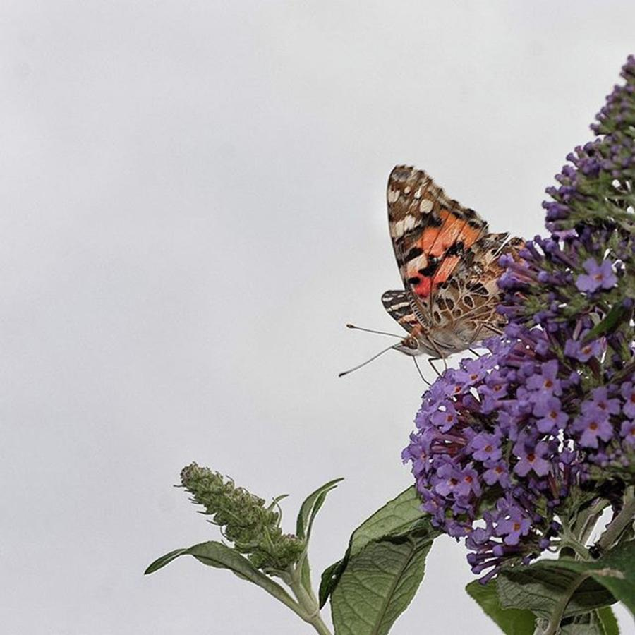 Nature Photograph - Painted Lady (vanessa Cardui) by John Edwards