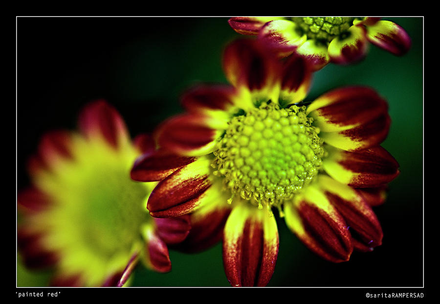 Flower Photograph - Painted Red by Sarita Rampersad